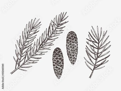 Fotografia Hand drawn conifer branches and cones