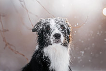 Beautiful Border Collie Walks At Sunset In A Snowy Park