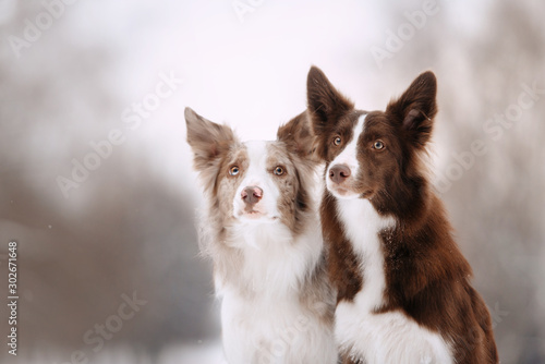 Foto Two border collies sit and look at the frame on a winter walk