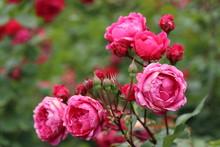 薔薇 ばら アレキサ...