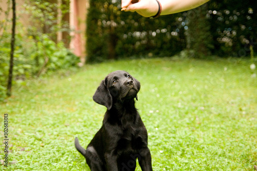 Foto  Labrador Retriever Puppy