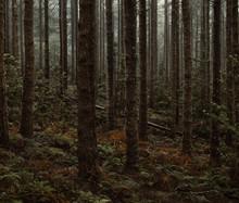Green Skinny Pine Forest In Fog