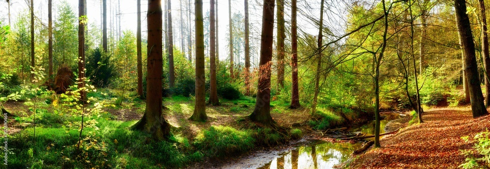 Fototapety, obrazy: Panorama of an autumnal forest with bright sunlight shining through the trees