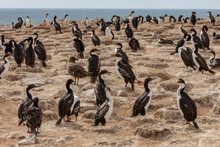 Colony Of Mostly Imperial Shags - Falkland Islands