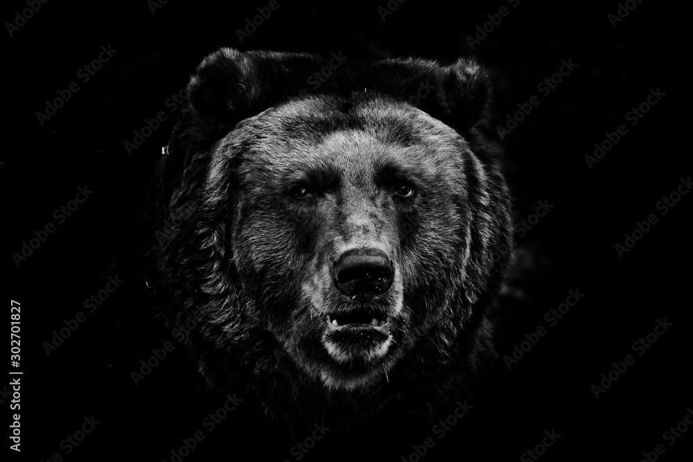 Fototapeta a darkened image, a stern brown slightly perplexing beast looks out of the darkness with small eyes. black and white photo isolated on a black background.