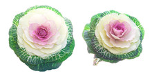 Set Of Pink-green Decorative Cabbage Flowers Isolated On White. Unusual Bright Plants