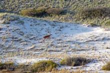 White Tail Deer At Beach