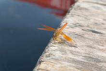 Amazing Flame Skimmer Orange D...