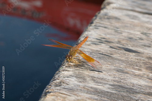 Valokuvatapetti Amazing Flame Skimmer Orange Dragonfly Macro Photography