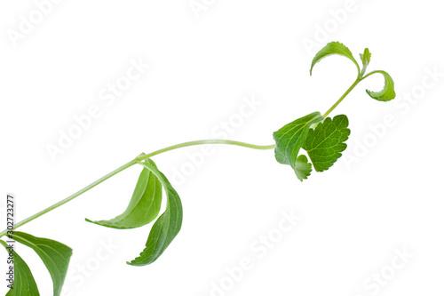 Photo  Stevia rebaudiana leaves isolated on white background
