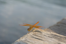 Amazing Flame Skimmer Orange Dragonfly Macro Photography. Beautiful Golden Wing Skimmer Or Darter Or Meadowhawks Of The Libellulidae Family.