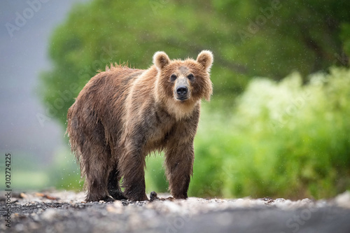 Obraz TheKamchatkabrownbear, Ursus arctos beringianus catches salmons at Kuril Lake in Kamchatka, running in the water, action picture.. - fototapety do salonu