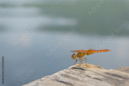 Valokuva Amazing Flame Skimmer Orange Dragonfly Macro Photography