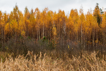 Fototapeta Drzewa Autumn scene with bright yellow birch trees and long wild grass in foreground in autumn