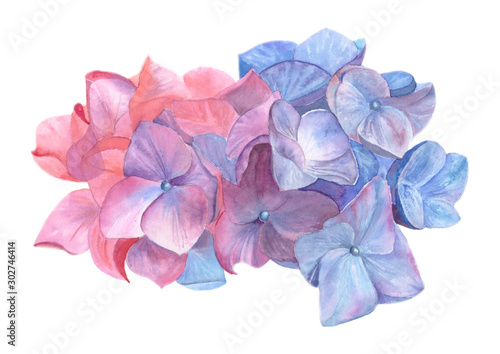 Photographie Watercolor hydrangea flowers isolated on white background