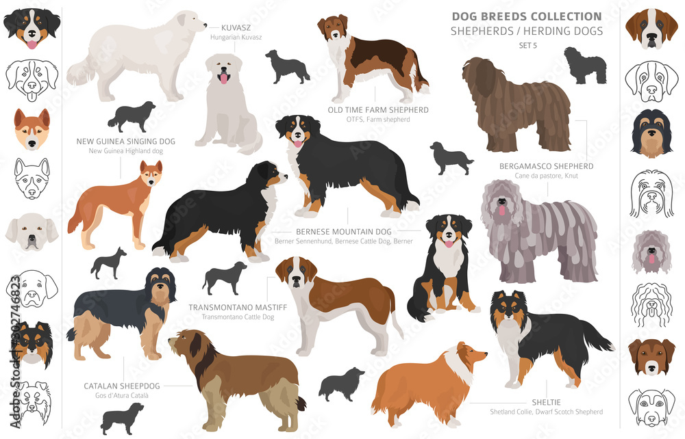 Fototapety, obrazy: Shepherd and herding dogs collection isolated on white. Flat style. Different color and country of origin