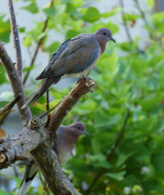 A Pair Of Laughing Doves (Spilopelia Senegalensis) Perched On A Flame Of The Forest (Butea Monosperma) Tree Branch.