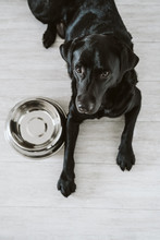 Beautiful Black Labrador Waiting To Eat His Meal. Home, Indoor