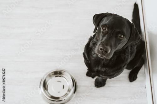 Beautiful black labrador waiting to eat his meal. Home, indoor Fototapeta