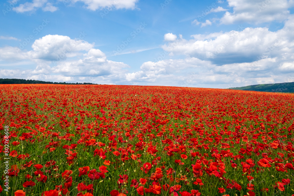 Red poppies set in the Derbyshire countryside, Baslow, Derbyshire