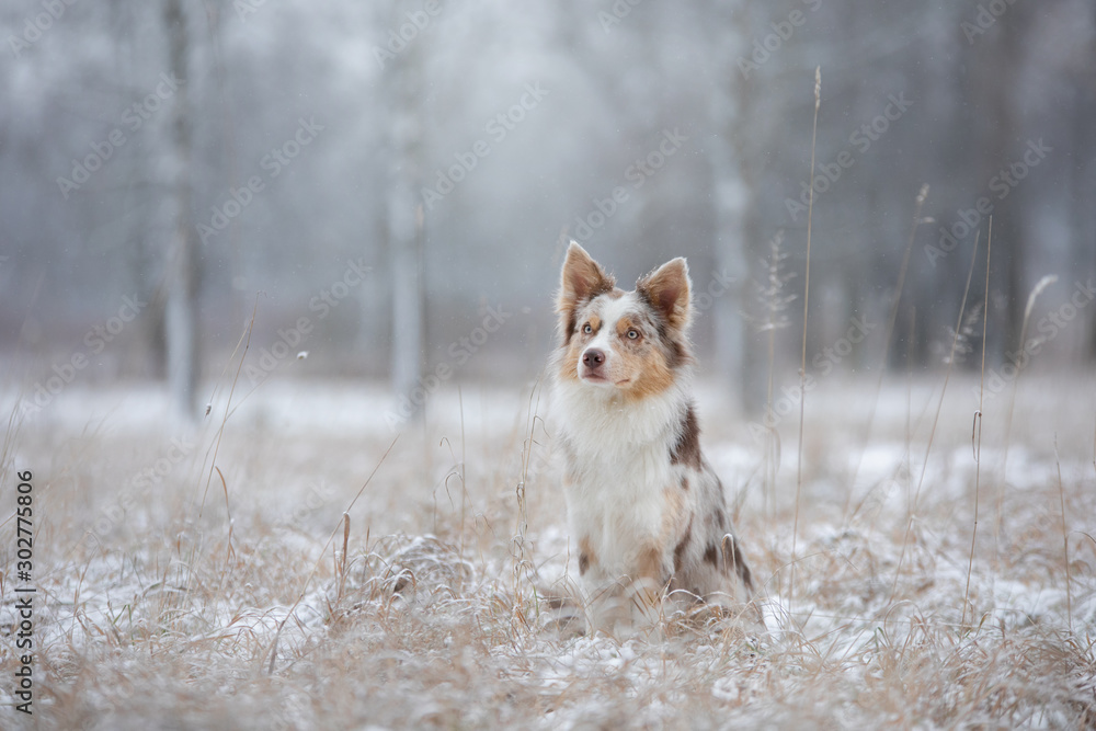 Fototapety, obrazy: dog in the snow on nature. Marble Border Collie in the winter in the park