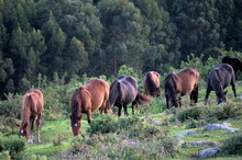 Group Of Wild Horses Grazing In The Mountains Of Cantabria