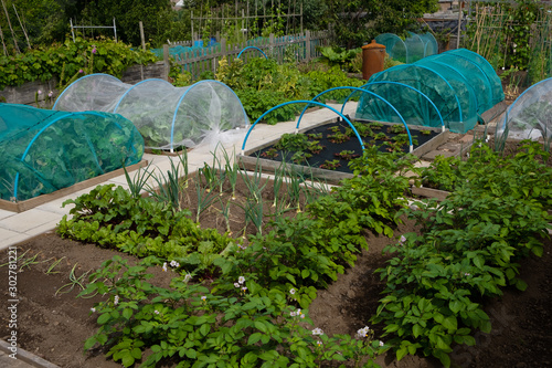 Photo Potatoes, onions, brassicas and strawberries growing on wel-kept allotment