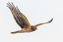 A Female Northern Harrier Hawk Hunts In A Pale Blue Sky