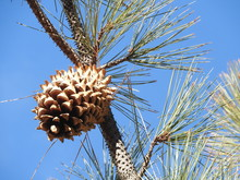 Large, Spiky Cones Growing On A Coulter Pine, Sespe Wilderness, Los Padres National Forest, California.