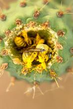 Cactus Bees