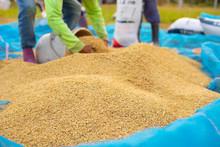 Dry Paddy ,Thai Farmers Are Harvesting Rice, Thailand, Laos, Vietnam.jasmine Rice