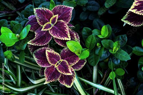 Fototapeta colorful leaves pattern,leaf coleus or painted nettle in the garden obraz