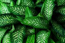 Green Leaves Pattern,leaf Dieffenbachia Or Dumb Cane Tree  In Garden,leaf Exotic Tropical