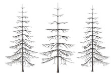 Set Of Three Bare Pine Trees I...