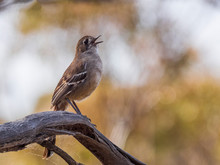 The Southern Scrub Robin Is A Long-legged Songbird Found In Semi-arid Parts Of Southern Australia. It Has A Very Subtle Dark Mark Through The Eye And Cheek. Scientific Name Is Drymodes Brunneopygia.