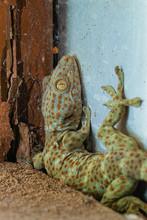 Tokay Gecko Or Gekko Gecko Seen At Assam,India