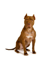 Thoroughbred American Pit Bull Terrier Dog Sitting Over White