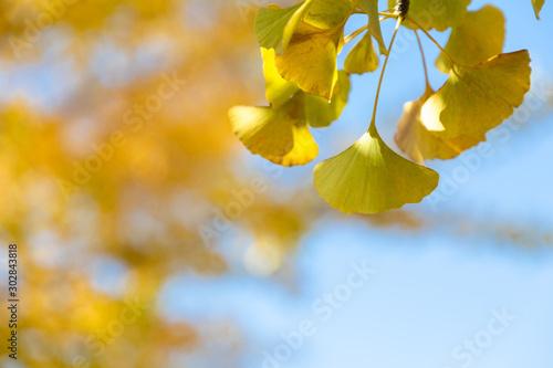 Fototapeta 黄色く色づいたイチョウの葉 obraz na płótnie