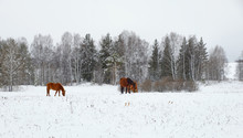 A Group Of Horses In A Winter ...
