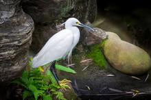 Snowy Egret (Egretta Thula), A...