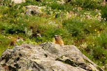 Parco Nazionale Del Gran Paradiso, Marmotta Sbuca Dalla Tana