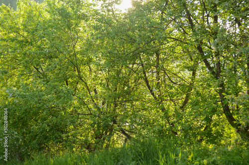 Fotobehang Aan het plafond Green apple tree on a summer sunny day