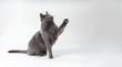 canvas print picture - Graue Katze hebt beim spielen die Pfote
