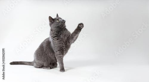 Graue Katze hebt beim spielen die Pfote Fototapete