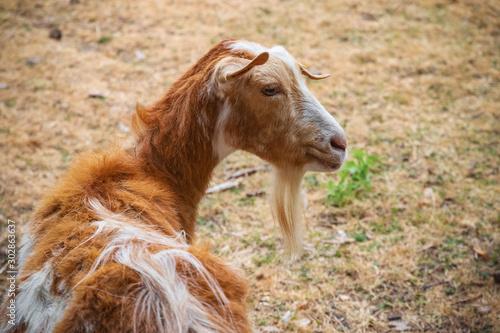Photo Golden Guernsey goat at Hackney city farm in London