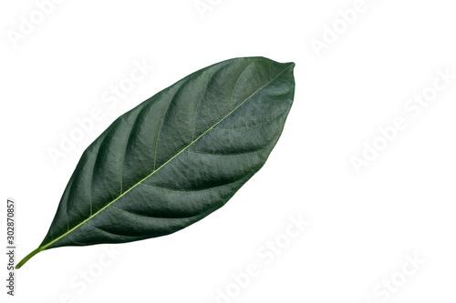 Closeup of single green leaf isolated white background useing for nature texture ecology concept.