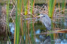 A Great Blue Heron (Ardea Hero...