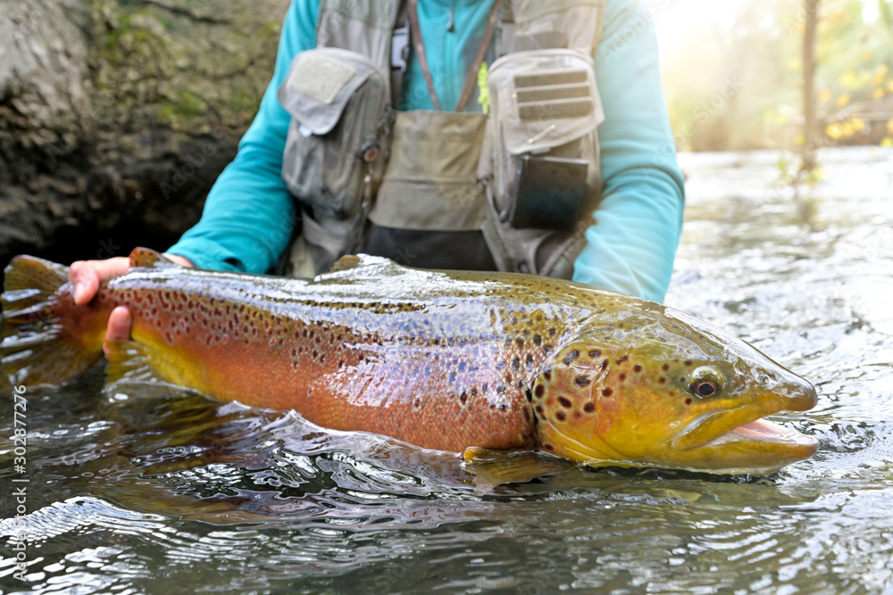 Fototapety, obrazy: taking a big brown trout in the fly