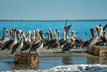 Pelican Colony Many Birds In B...