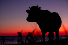 Silhouette Of Cow On Sunset Ba...